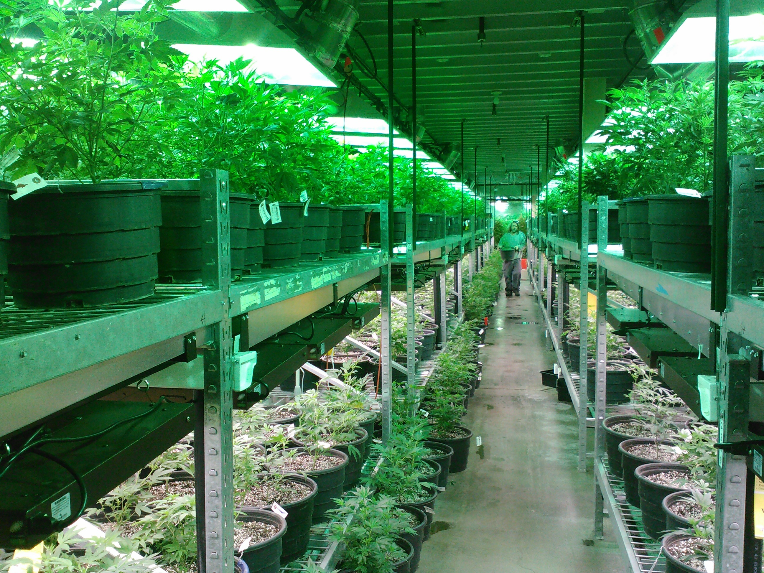 Marijuana grower farm.