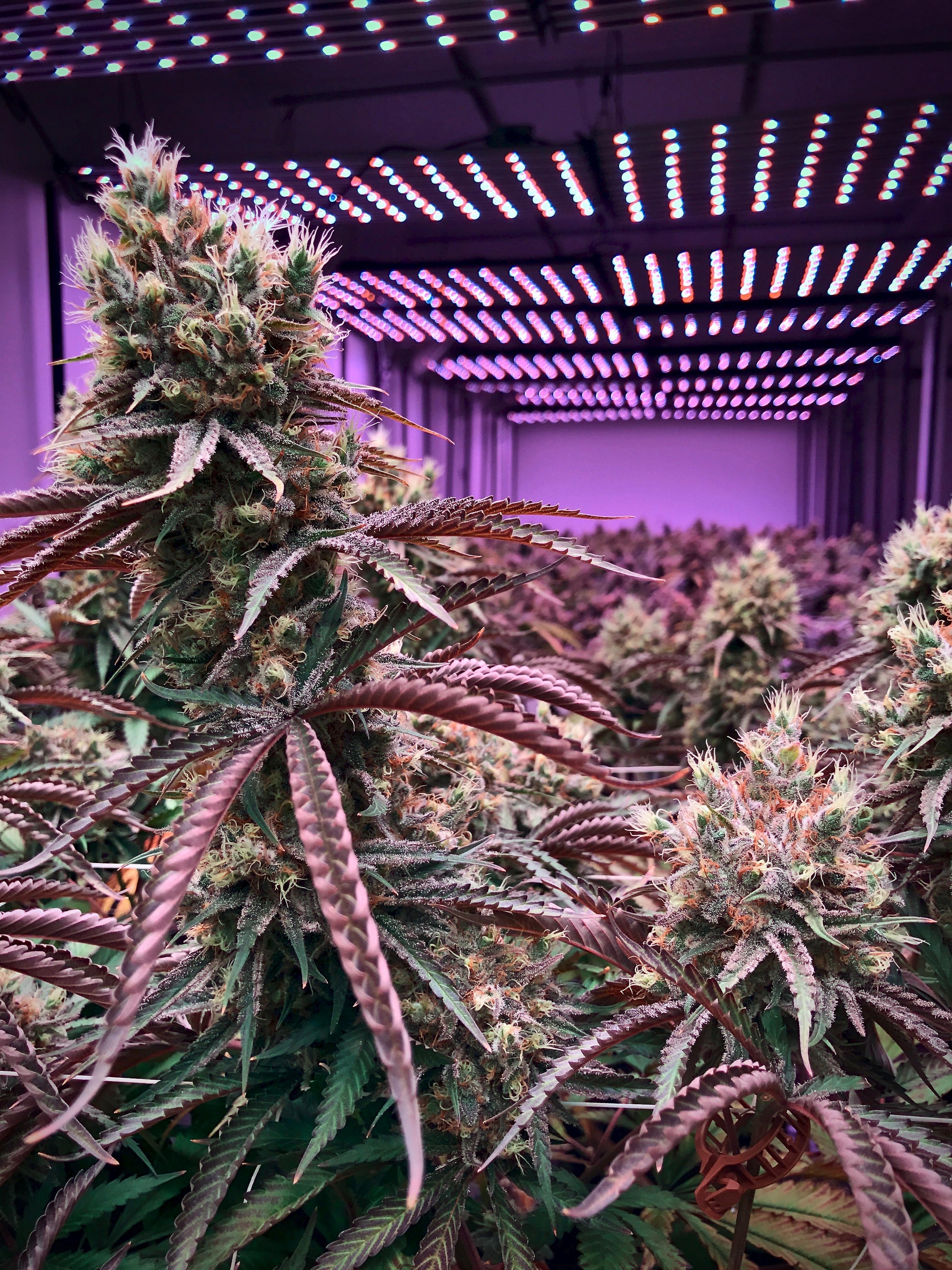 Indoor cannabis farm.